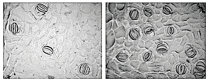 Various leaf stomatal traits within and among blackpoplar