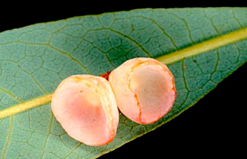 Epidermal Stomata of a Cup-Like Gall ofLitsea