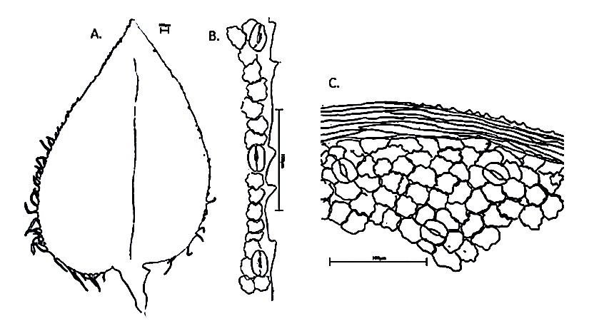 The marginal stomata in Selaginella appear to be non-functional