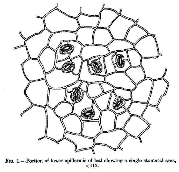 Stomata In Begonia Monocots