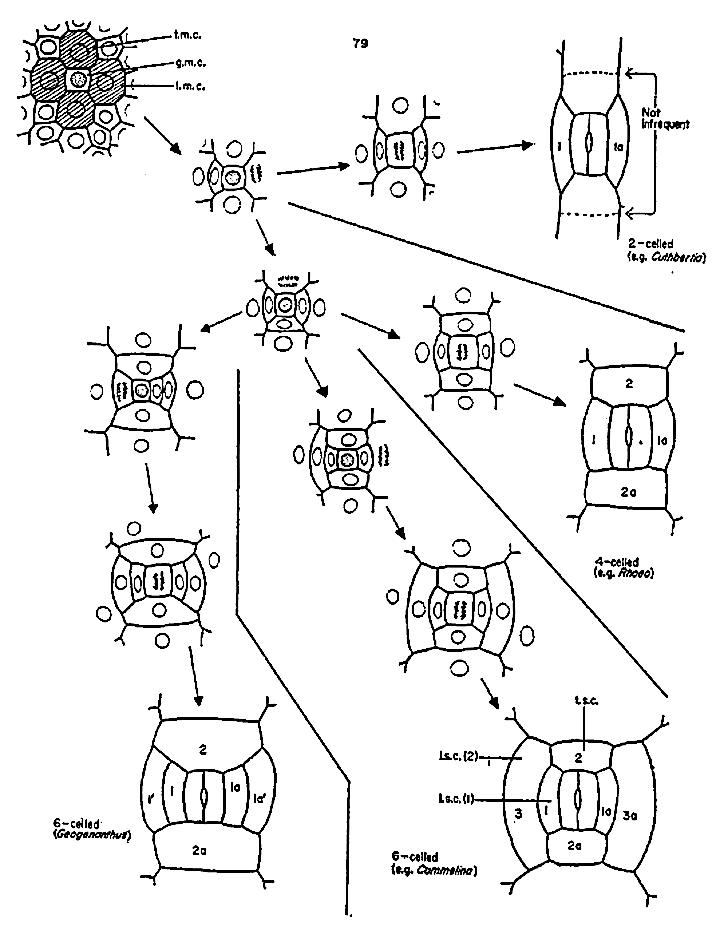 Stomata In Commelinaceae