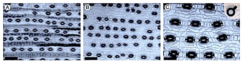 Stomatal distribution pattern in Podocarpus(Gymnospermae)