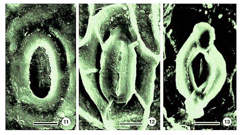 Stomatal characteristics in Glyptostrobus(Taxodiaceae)