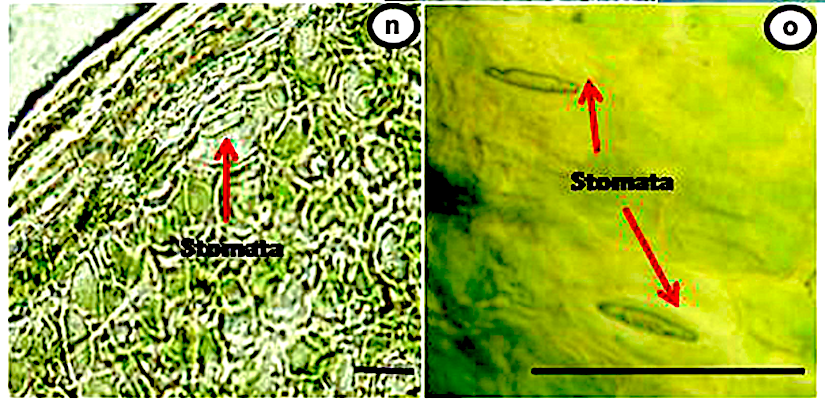 Stomata in Selaginella ciliaris