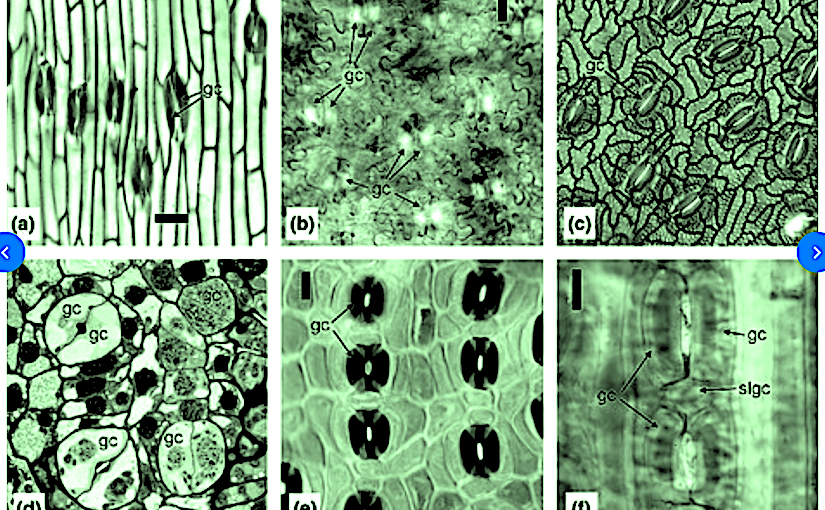 Developmental and morphogenetic factors and the evolution of stomatal patterning in land plants