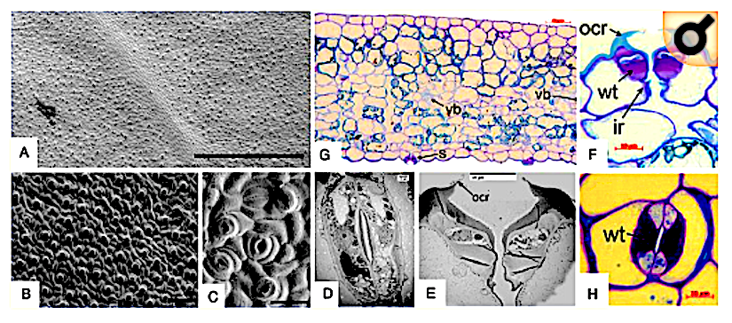 Loss of asymmetric divisions in stomatal development could be a significant factor in land plantevolution