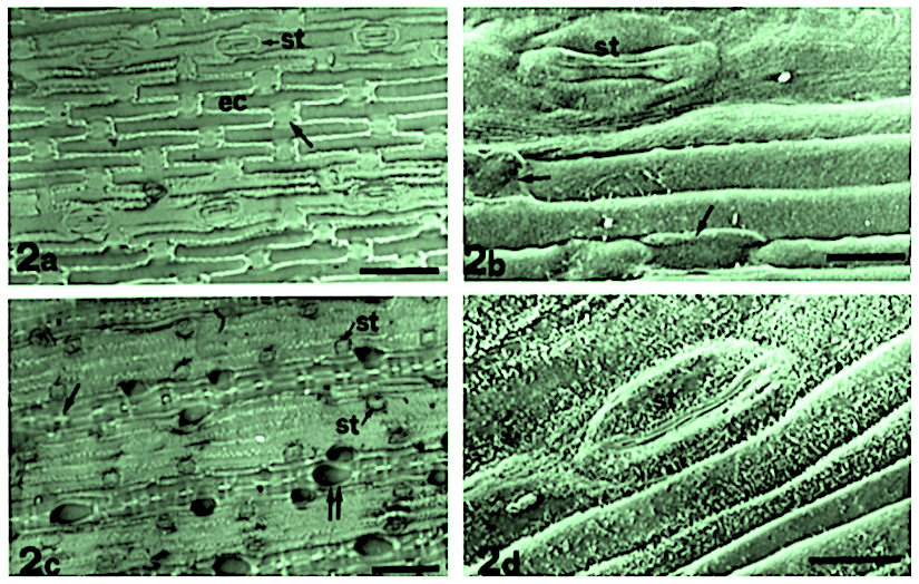 Stomata and dehydration and rehydration in grassleaves