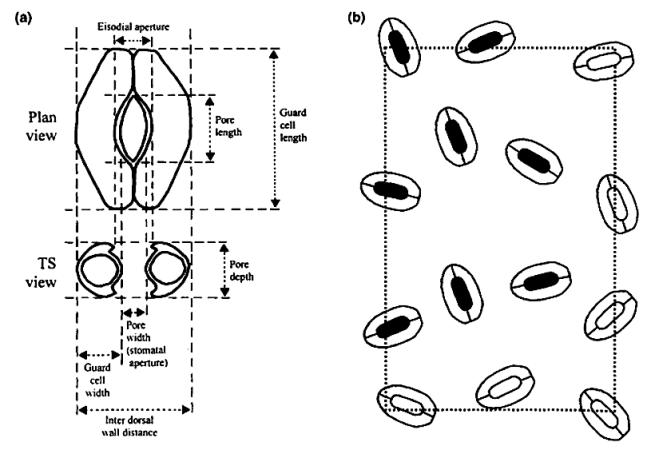 Stomata Diagram
